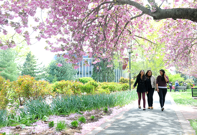 Adelphi students walking in the cherry blossoms.
